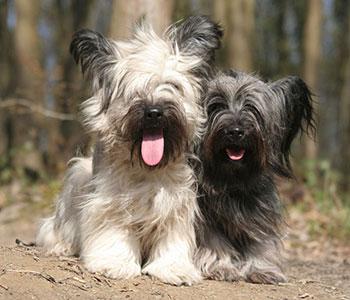 Skye Terrier One of the UK's Most Endangered Breeds   Pet Keen