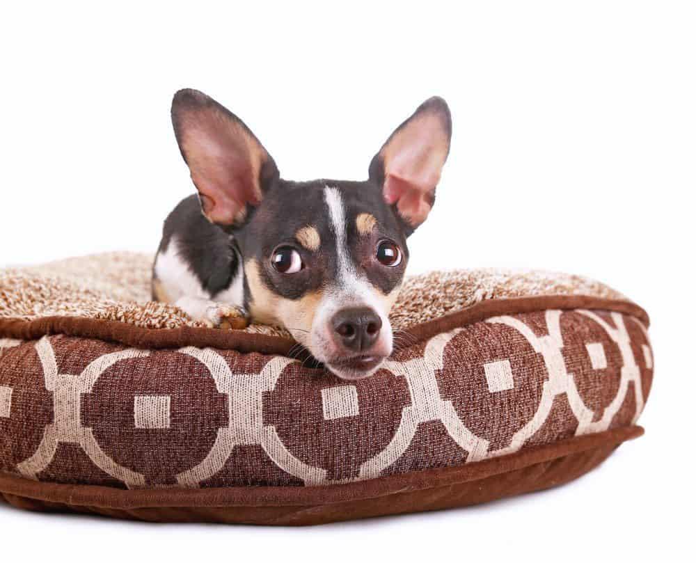 Taco Terrier_Annette Shaff, Shutterstock