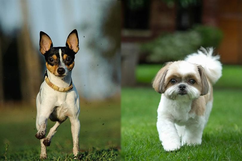 Toy Fox Terrier and Shih Tzu