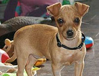 Toy Rat Doxie Dachshund and the Rat Terrier Mix