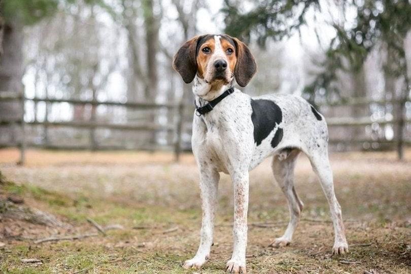 Treeing Walker Coonhound_Mary Swift, Shutterstock