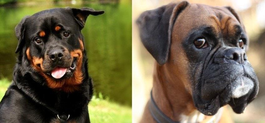 Rottweiler Boxer Mix Boxweiler Cross Breed parents