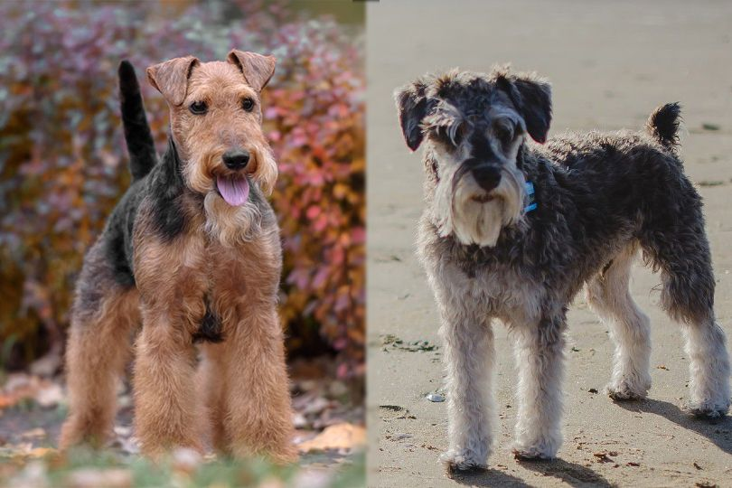 Welsh Terrier and Miniature Schnauzer
