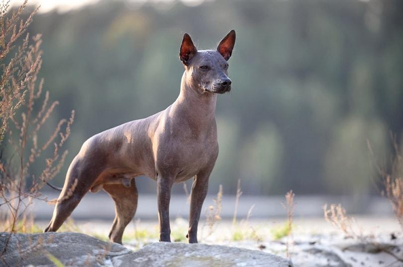 Xoloitzcuintle standing on a natural landscape