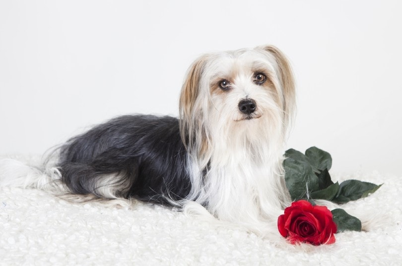 Yorkie-Apso (Yorkshire Terrier and Lhasa Apso mix)