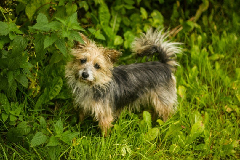 Yorkie Russell standing on grass