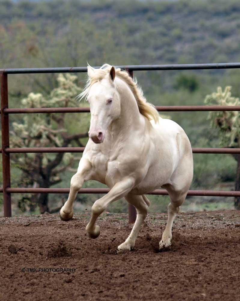a cremello horse