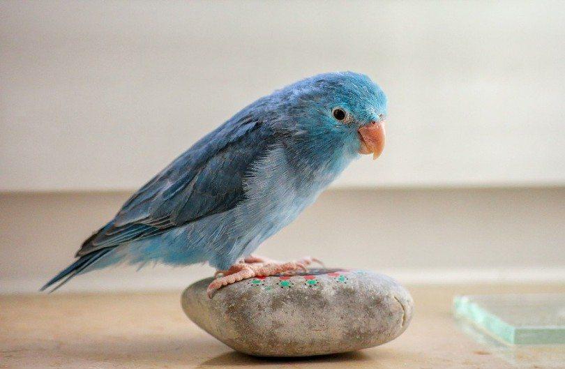 a parrotlet on a rock