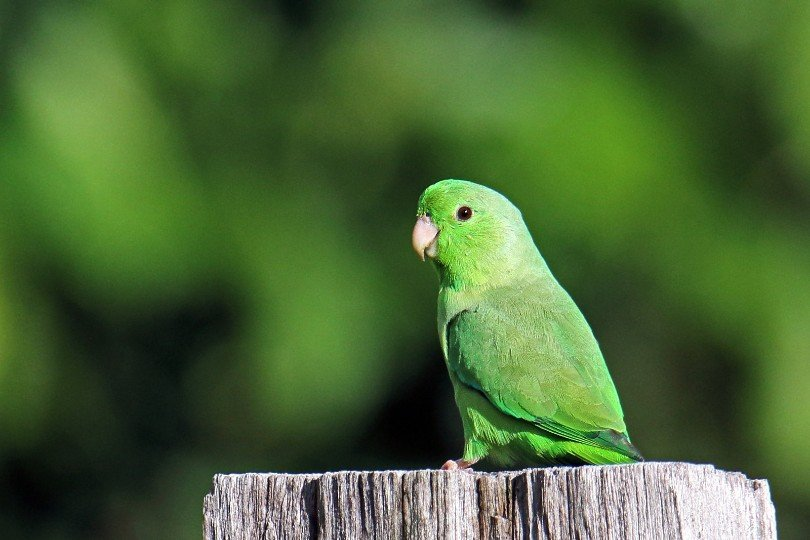 a parrotlet on a tree trunk
