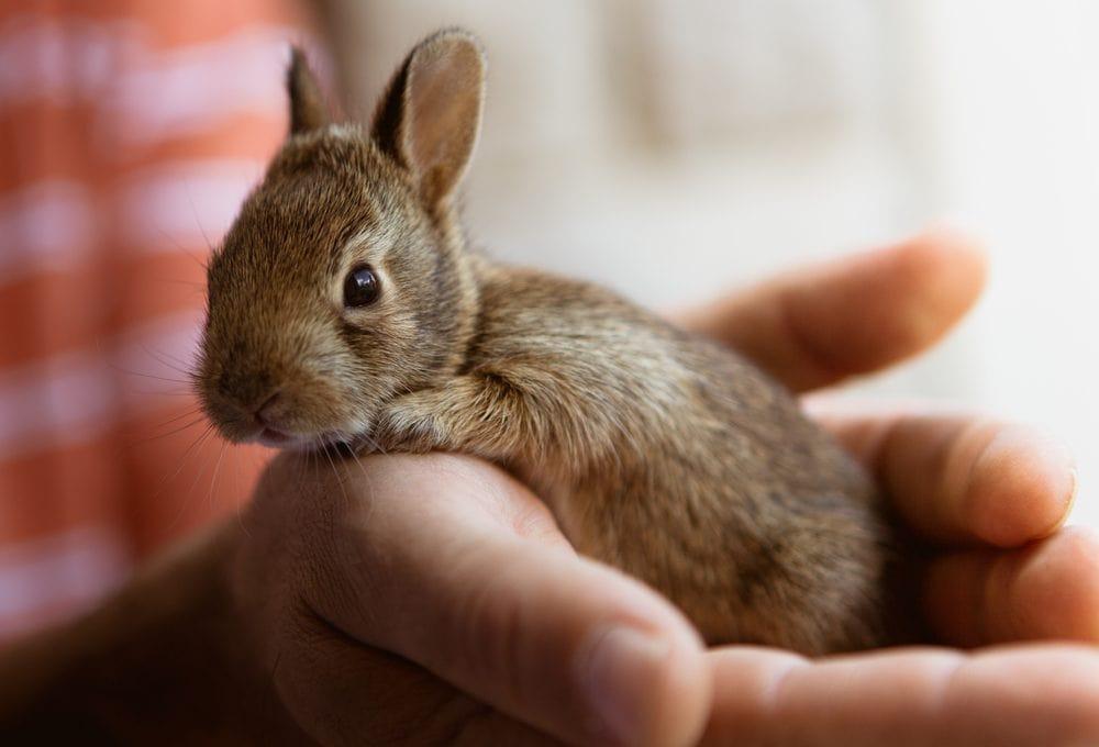 argente brun baby bunny