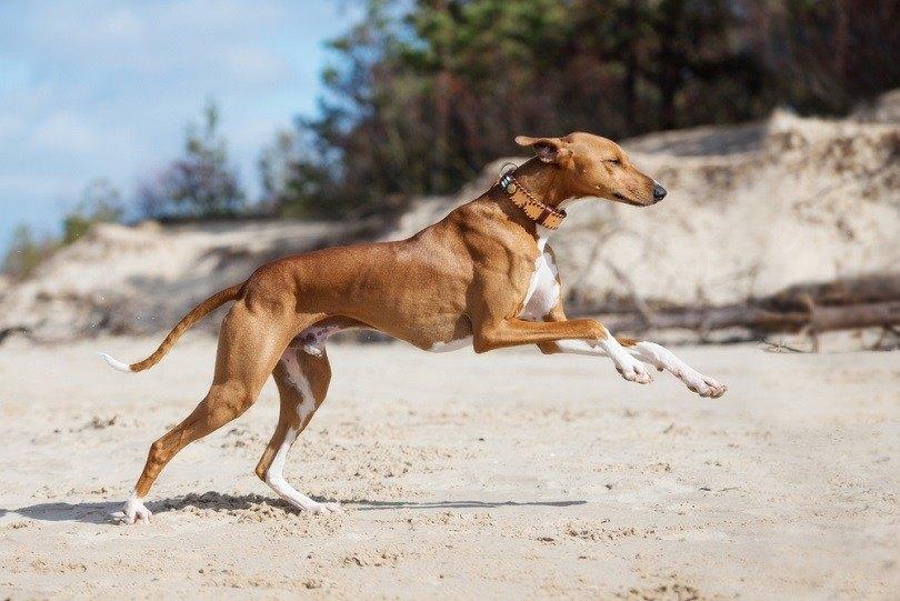 azawakh-dog-running
