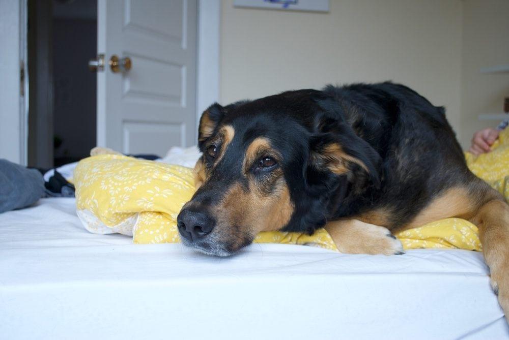 beagleman on bed