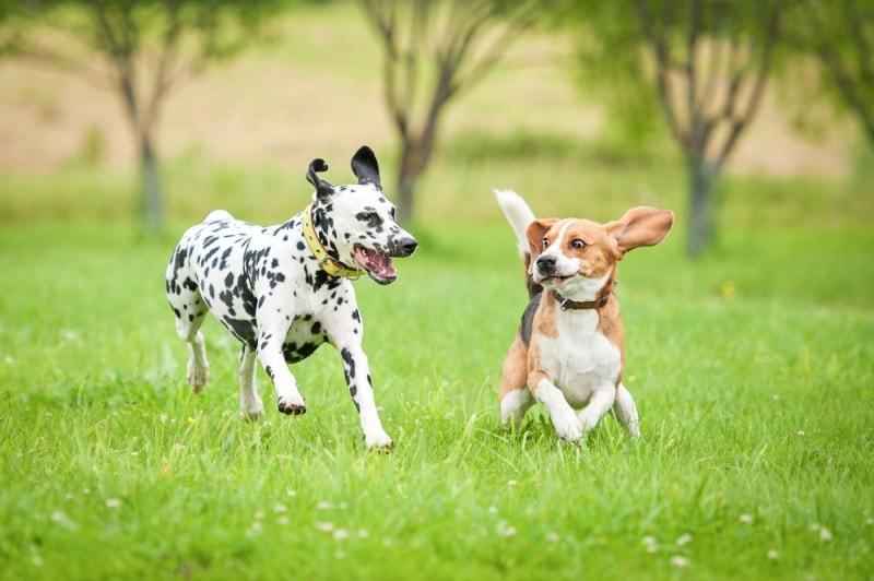 beaglemation parents dalmatian and beagle dogs
