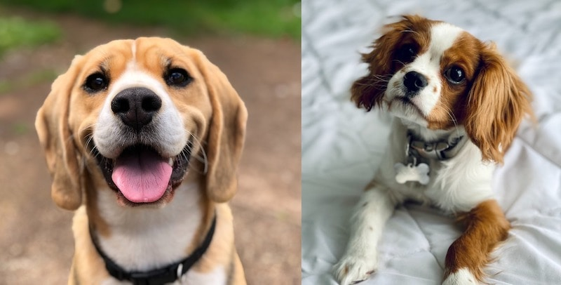 beaker dog parents beagle and cocker spaniel
