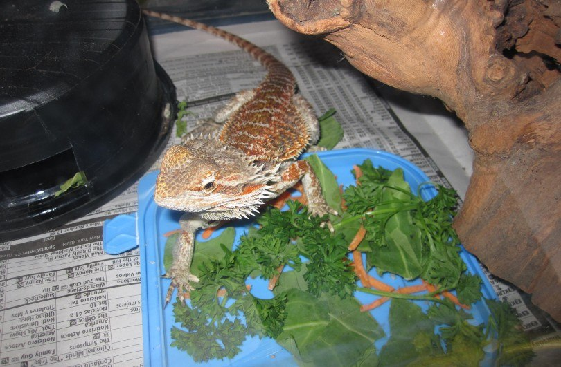 bearded dragon and vegetables