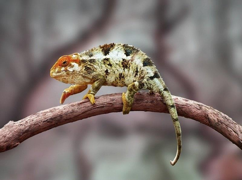 bearded dragon on twig