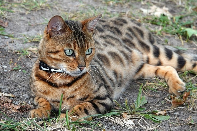 bengal cat lying outdoor