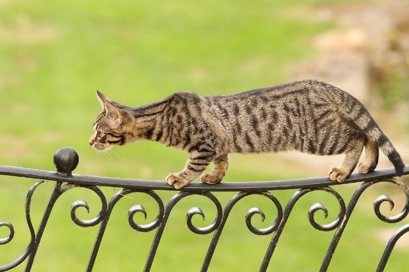 bengal cat walking on a fence