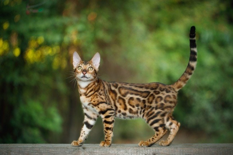 bengal cat walking on plank outdoor