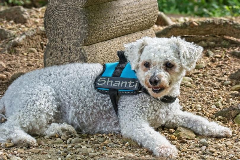 bichon frise dog_Antranias_Pixabay