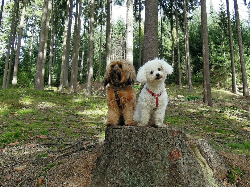 bichon frise dogs_Antranias_Pixabay
