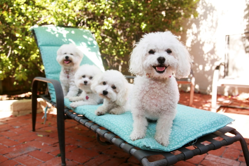 bichon frise puppies_mikeledray_Shutterstock