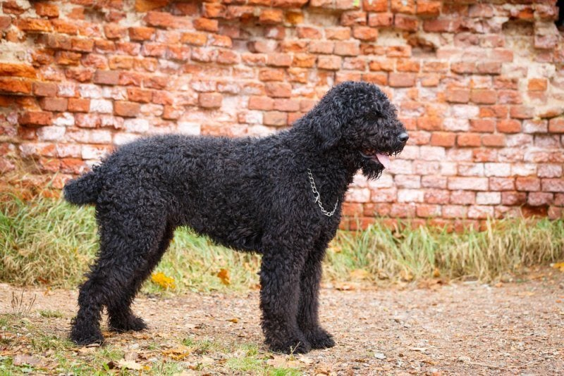 black russian terrier by brick wall