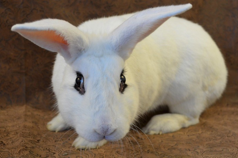 blanc de hotot rabbit close up