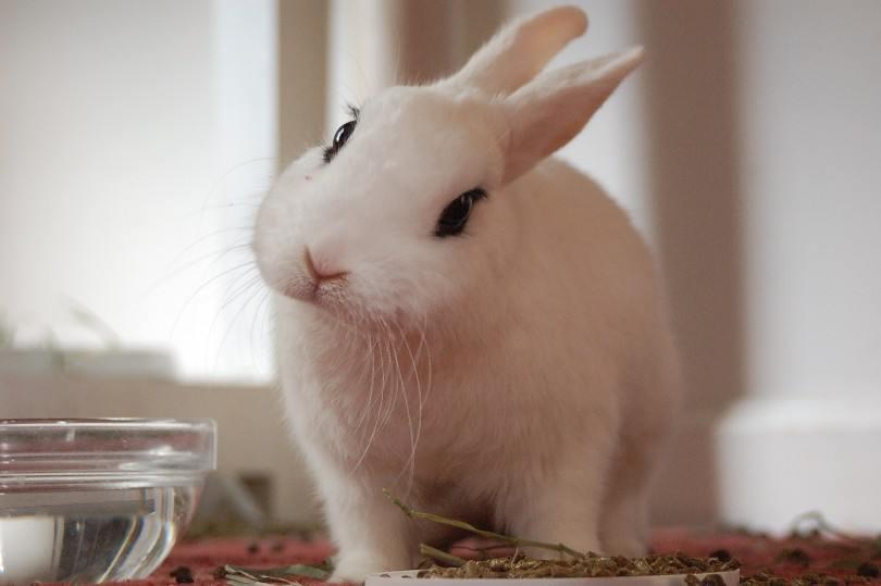 blanc de hotot rabbit eating