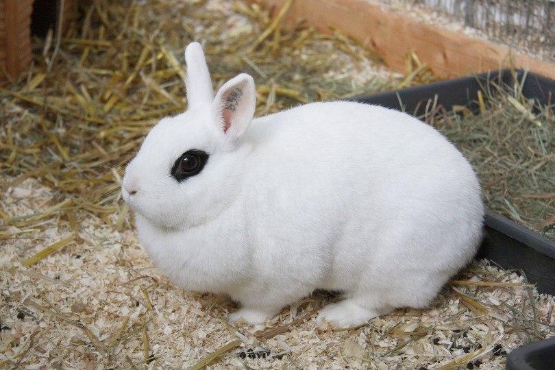 blanc de hotot rabbit in cage