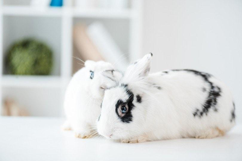 blanc de hotot rabbit in vet clinic