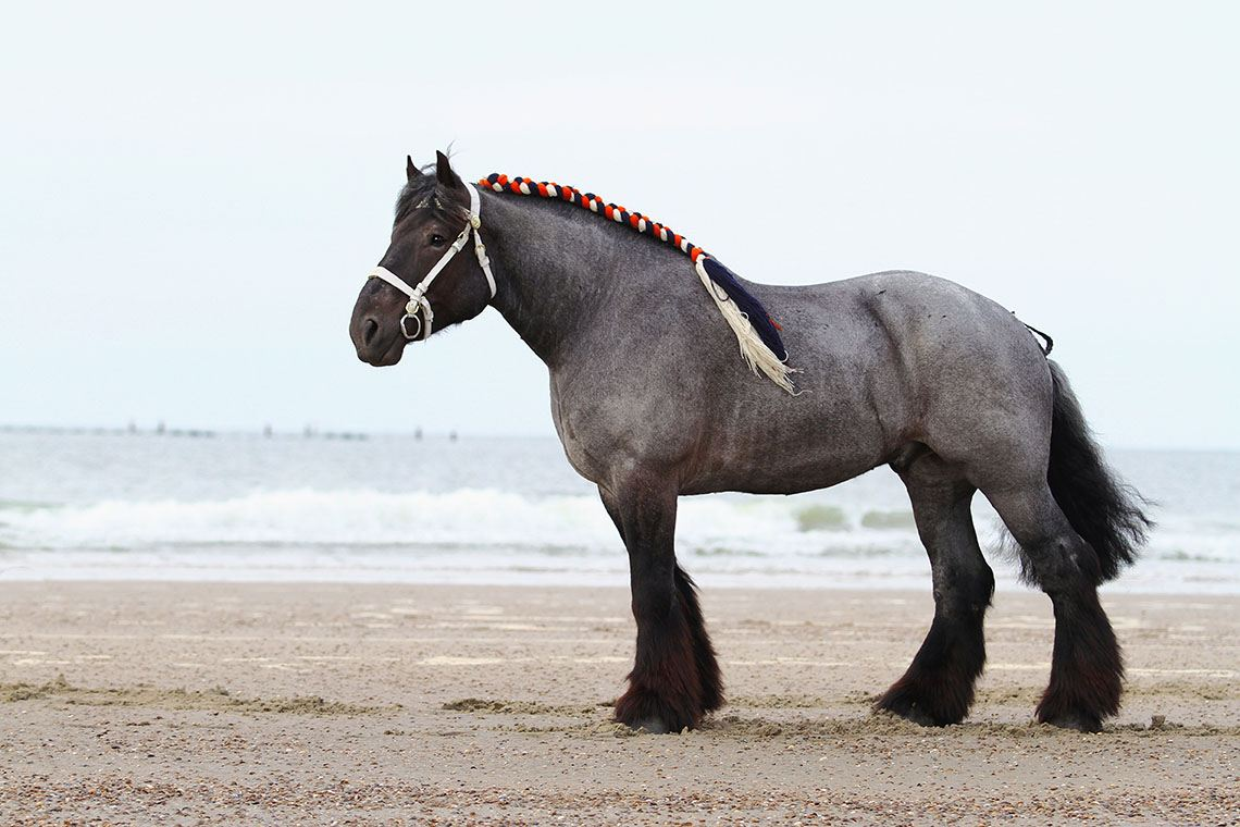 braided dutch draft horse
