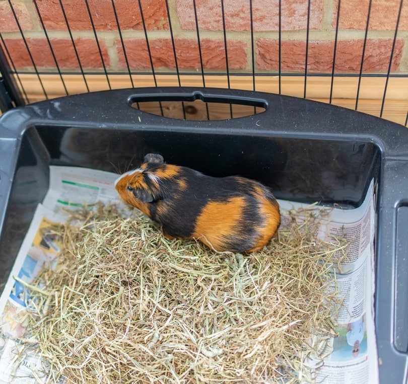 brown and black male guinea pig in its indoor litter_yackers1_shutterstock