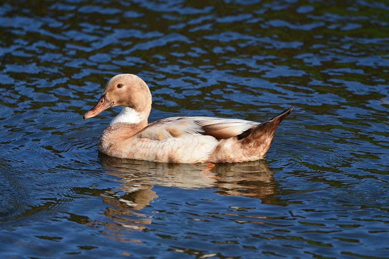 buff orpington duck on the water