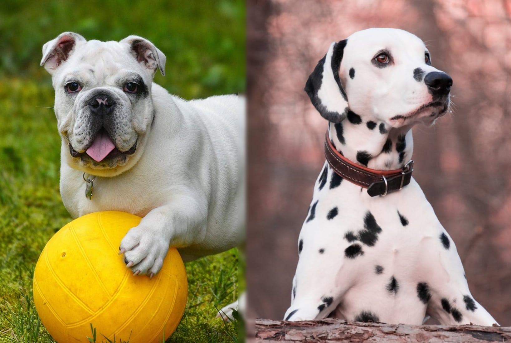 bulldog dalmatian parents of the bullmatian