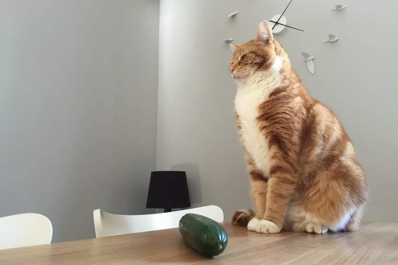 cat and cucumber on the table
