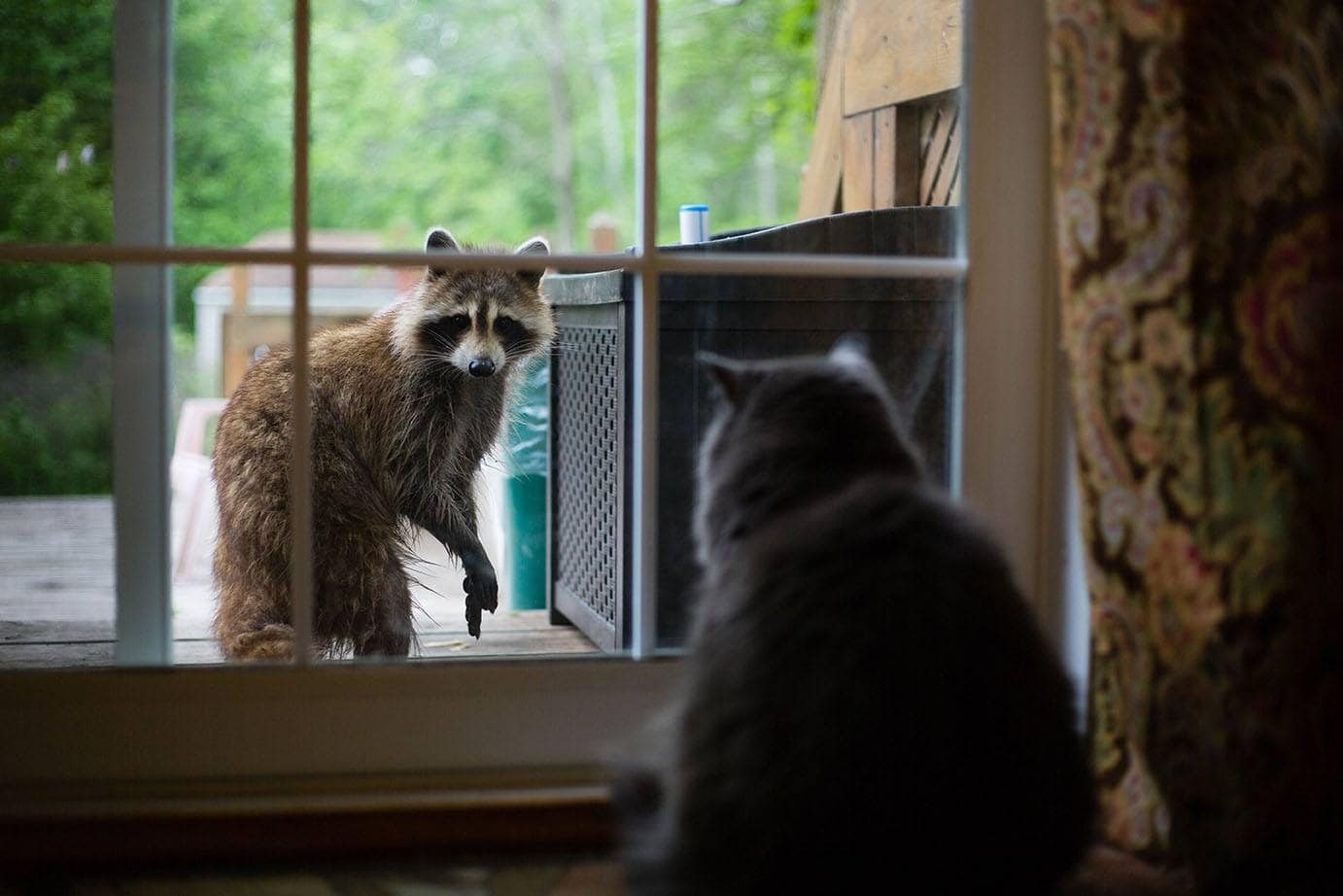 cat looking at racoon outside