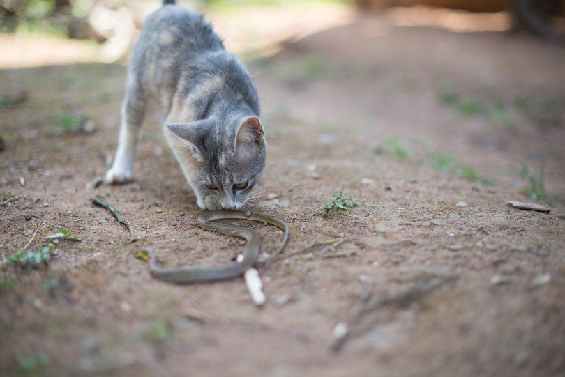 cat snake fight,PPK studio, Shutterstock