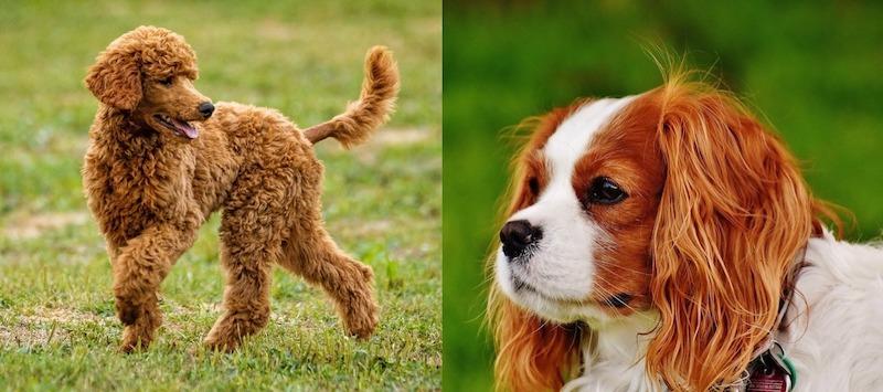 cavapoo mixed breed dog parents