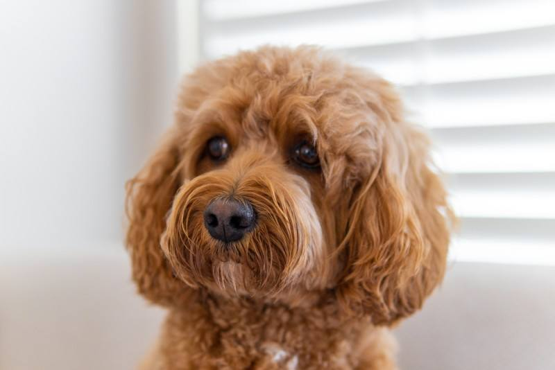 cavoodle King Charles Spaniel Poodle mixed breed dog