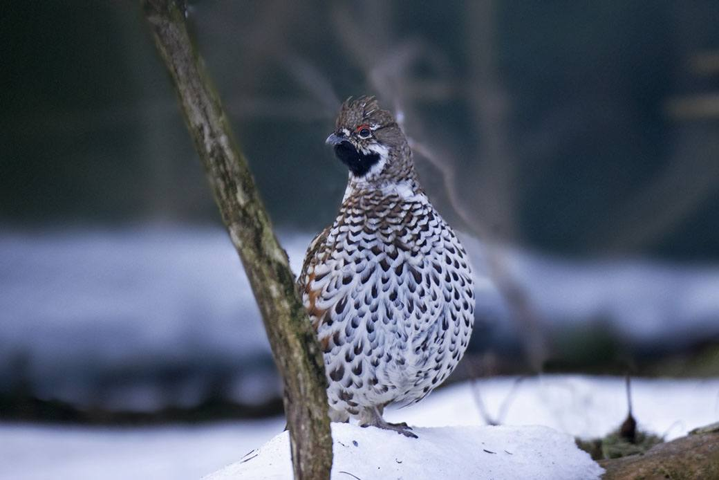 chantecler in the snow