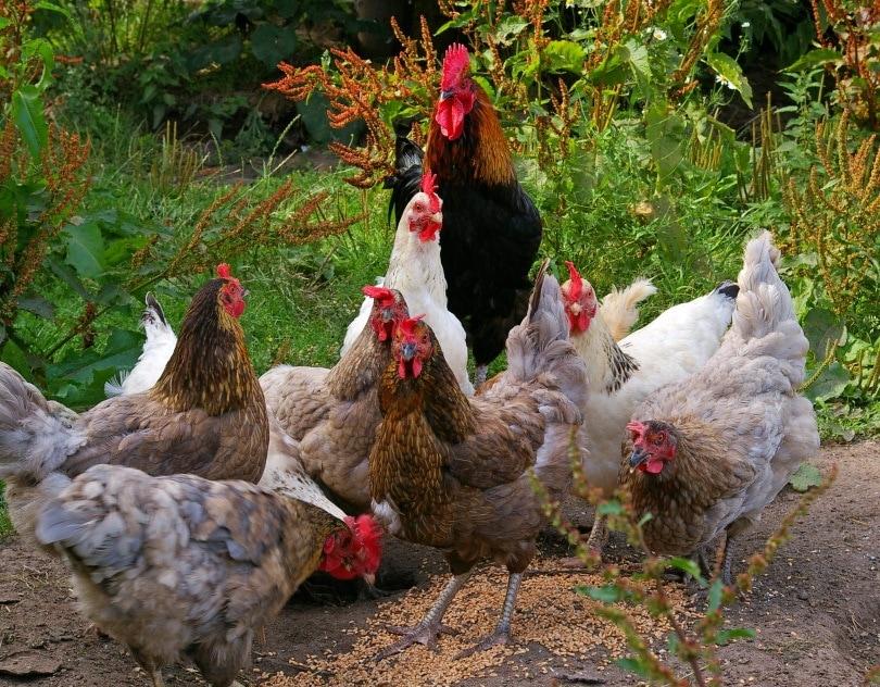chickens_ KRiemer_Pixabay