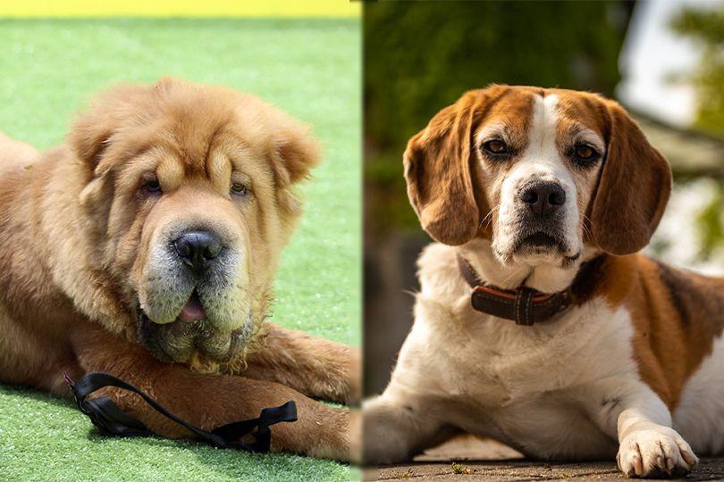 chinese shar pei and beagle