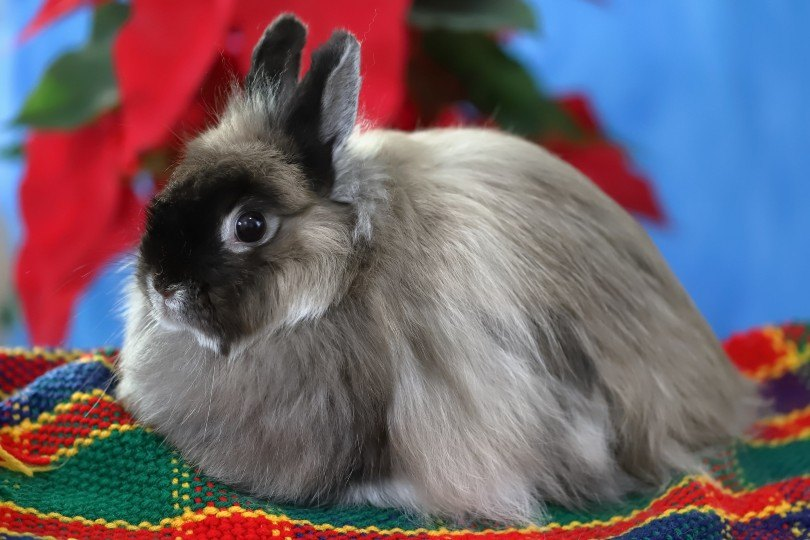 close up of a jersey wooly rabbit