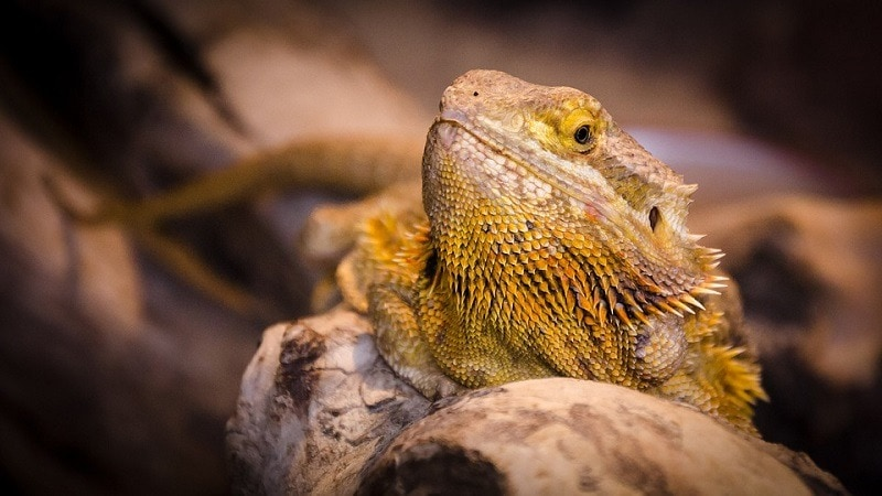 closeup bearded dragon