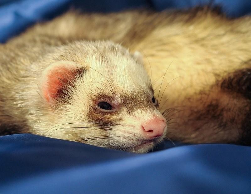 closeup ferret