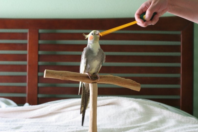 cockatiel on training