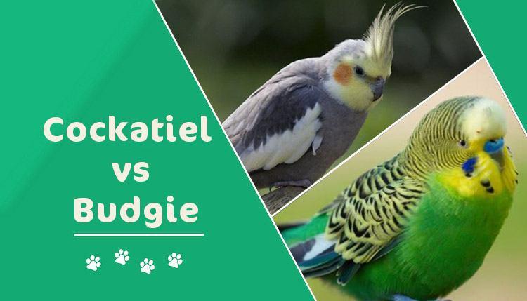 cockatiel vs budgie