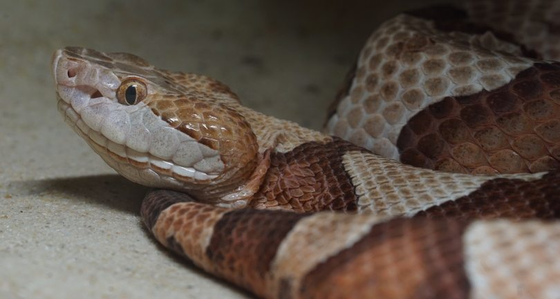 copperhead,makasana photo, Shutterstock