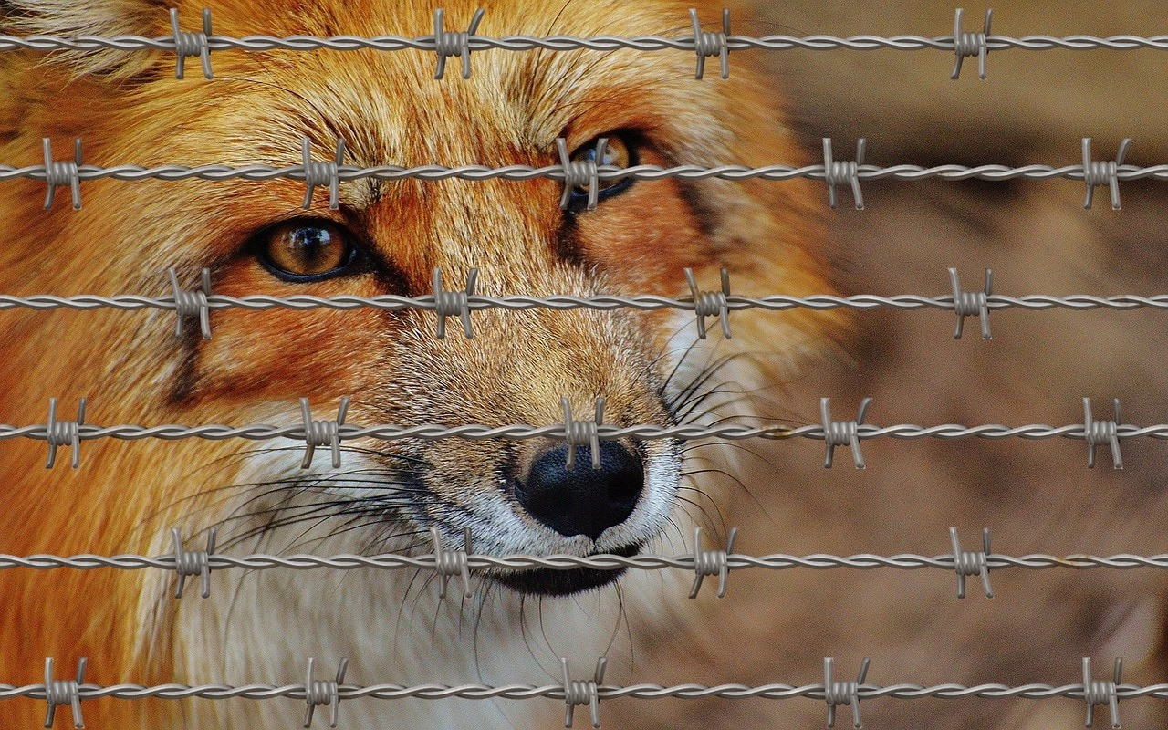 coyote fenced